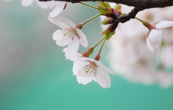 Picture macro, flowers, cherry, sprig, blue, color, branch, spring, petals, Sakura, white, flowering