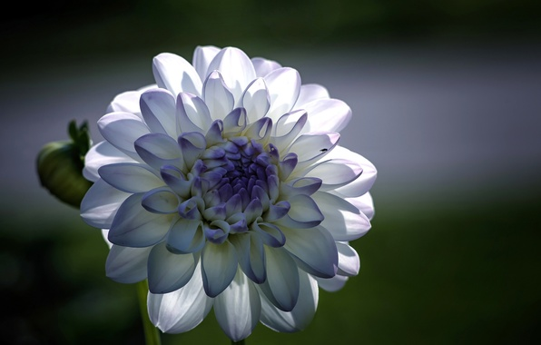 Picture macro, focus, Flower, petals, blue, white, Dahlia