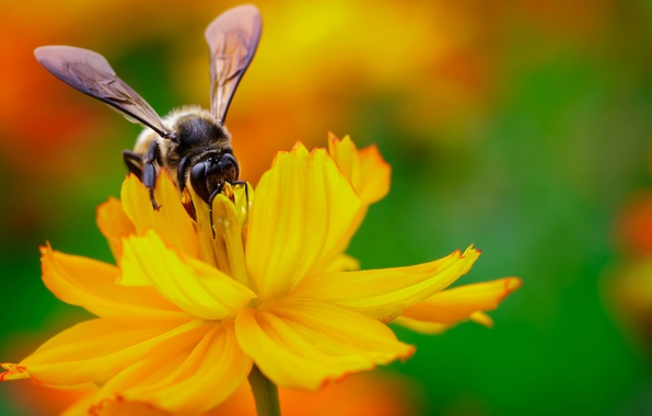 Picture flower, yellow, nectar, bee, wings, focus, insect