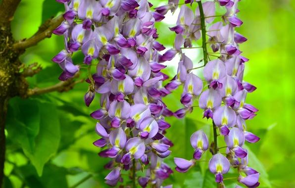 Picture macro, brush, flowers, Wisteria, Wisteria
