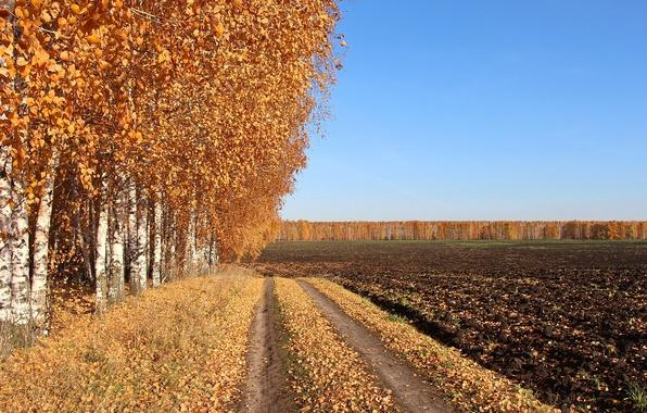 Picture road, field, autumn, birch