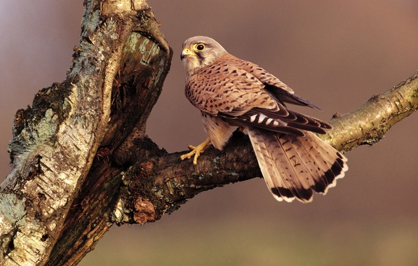 Picture tree, bird, branch, feathers, beak, tail, Falcon, sitting