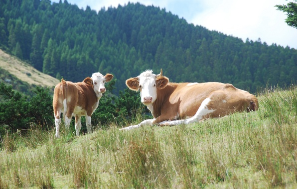 Picture forest, hills, cows