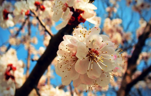 Picture the sky, macro, joy, spring, apricot, flowering