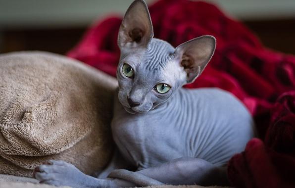 Picture cat, look, Sphinx