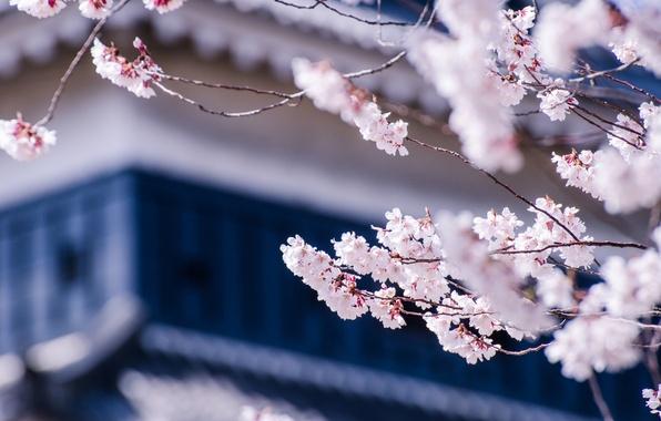 Picture macro, flowers, branches, cherry, tree, Japan, blur, Sakura, flowering, Matsumoto, Nagano Prefecture