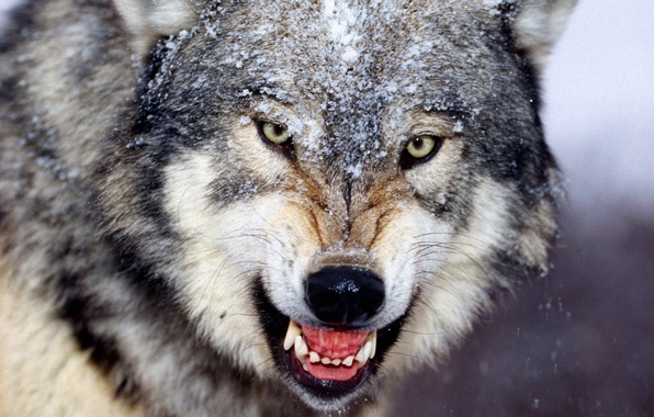 Picture winter, wolf, fangs, grin