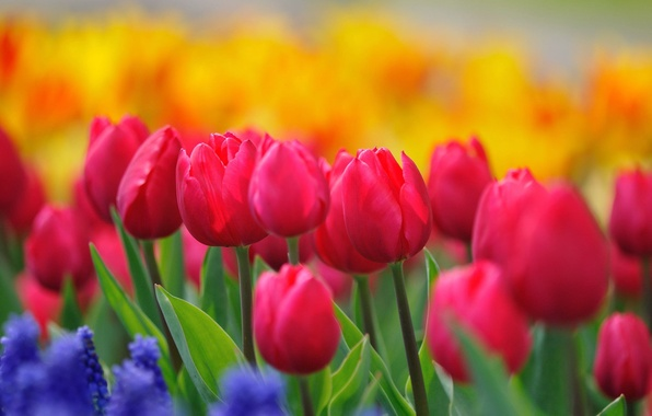 Picture flowers, nature, stems, paint, glade, bright, spring, yellow, tulips, pink, buds, flowering, blue, raspberry, hyacinths
