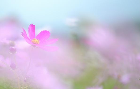 Picture nature, petals, haze, kosmeya