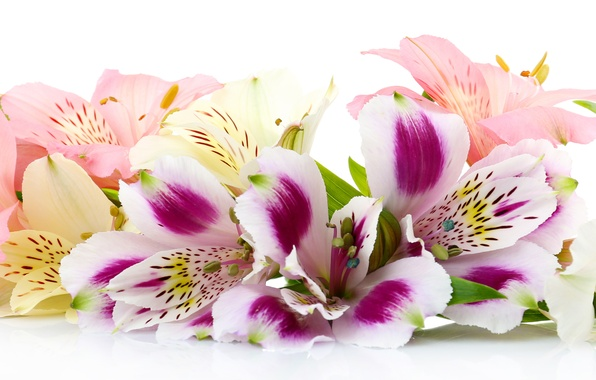 Picture flowers, white background, Alstroemeria