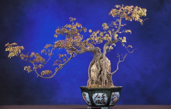 Picture nature, tree, bonsai, plant, blue background