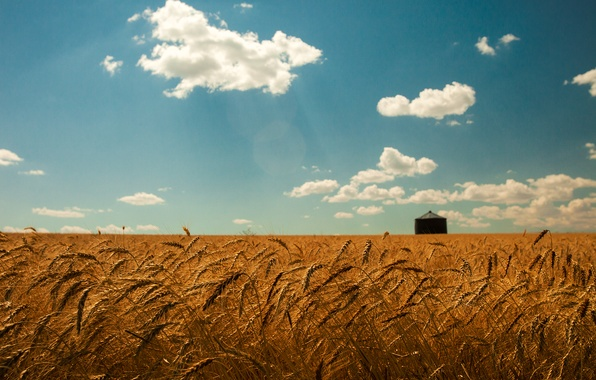 Picture wheat, field, summer, the sky, clouds, gold, spikelets