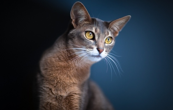 Picture cat, eyes, look, blur, Cat, ears, blue background