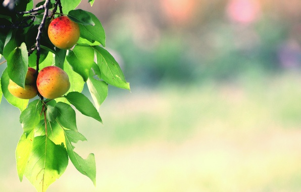 Picture leaves, branch, fruit, fruit, apricots