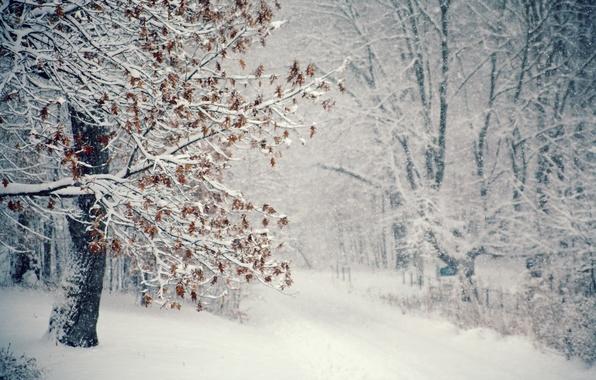 Picture winter, snow, tree, Blizzard