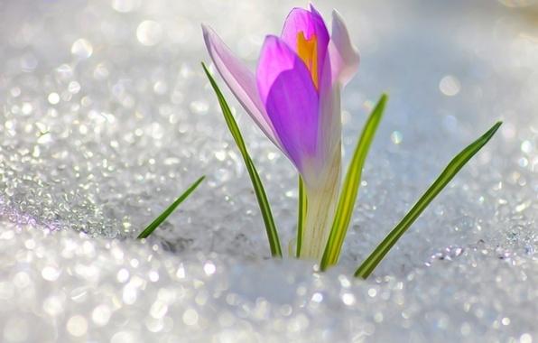 Picture flower, snow, cute, spring, flower, Krokus, snowdrop, spring, March