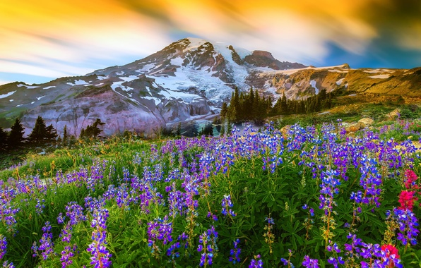 Picture grass, flowers, nature, mountain, the volcano, top, Washington, USA, Lupin, Mount Rainier National Park, Mount ...
