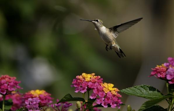 Picture greens, flowers, bird, Hummingbird, Sunny