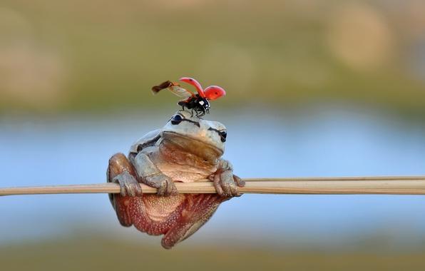 Picture frog, freedom, ladybug, stalk, ladybird