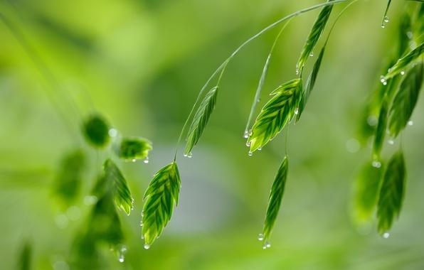 Picture greens, grass, drops, macro, Rosa
