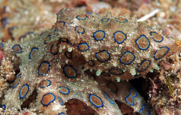 Picture color, macro, the bottom, octopus, spot, disguise, underwater world, under water