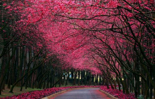 Picture nature, Park, color, spring, Sakura, alley