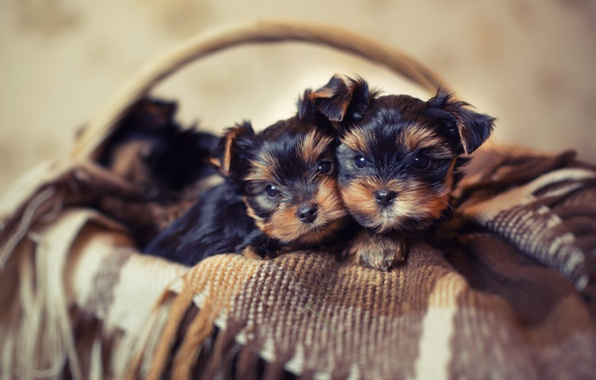 Picture dogs, basket, puppies, basket