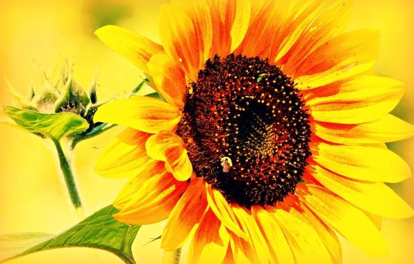 Picture flower, leaves, sunflower, Lepestki