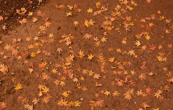 Picture leaves, earth, yellow, maple