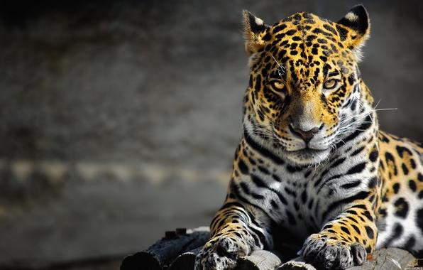 Picture look, photoshop, predator, leopard