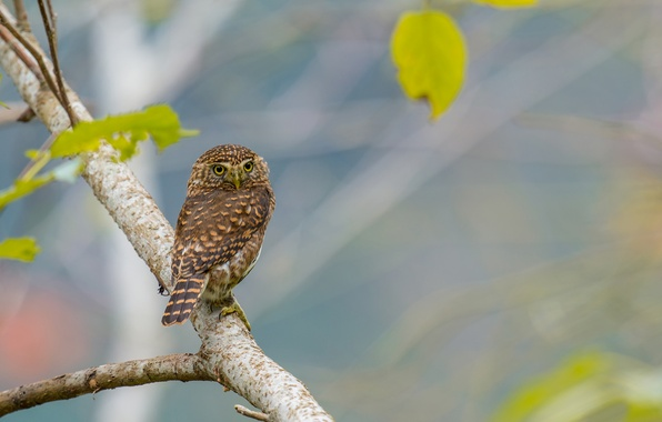 Picture leaves, owl, bird, branch