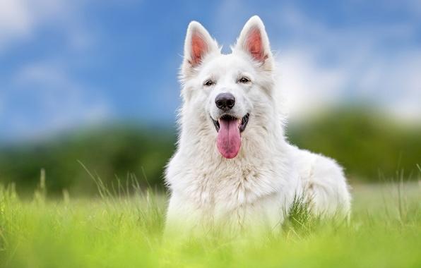 Picture language, dog, shepherd, The white Swiss shepherd dog
