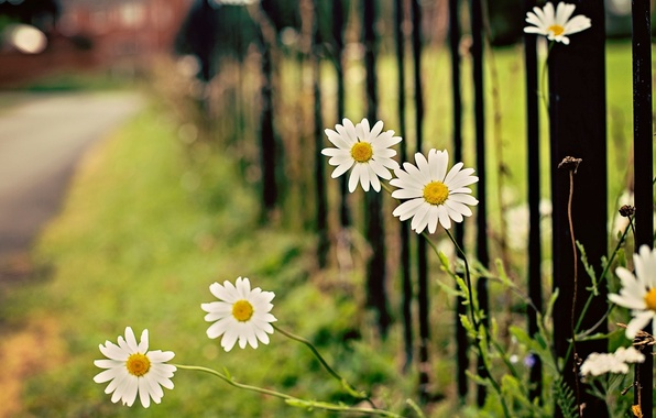 Picture flower, leaves, flowers, green, background, widescreen, Wallpaper, the fence, chamomile, blur, gate, Daisy, the fence, …