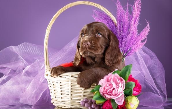 Picture flowers, basket, puppy, Spaniel