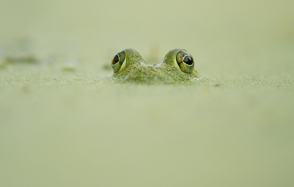 Picture frog, wildlife, camouflage, looking out