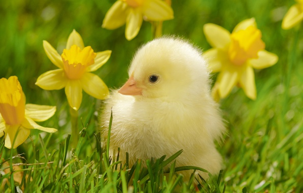 Picture grass, macro, flowers, bird, yellow, chicken, chick, daffodils