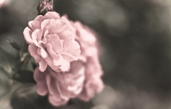 Picture macro, flowers, grey, color, roses, petals, blur, pink