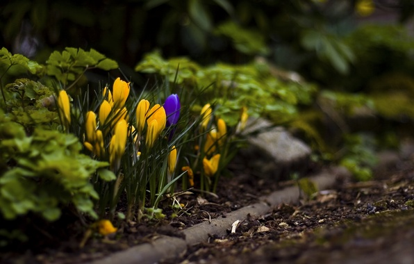 Picture grass, leaves, macro, flowers, earth, spring, crocuses