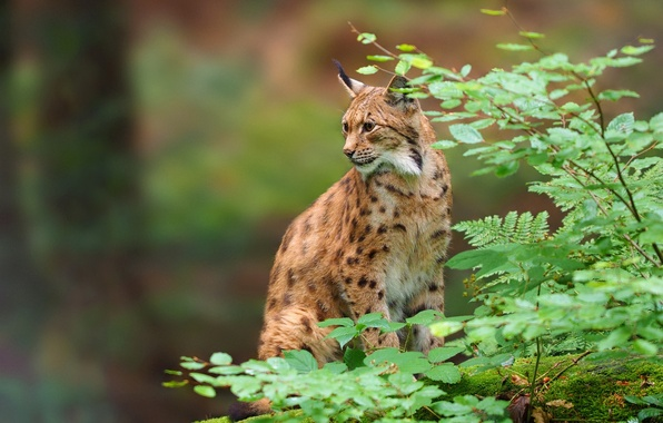 Picture leaves, branches, predator, lynx, wild cat