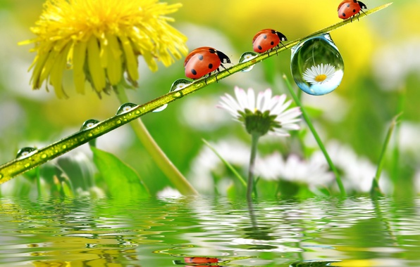 Photo wallpaper flowers, chamomile, reflection, Rosa, dandelion, ladybugs, drops
