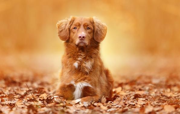 Picture autumn, look, leaves, portrait, dog
