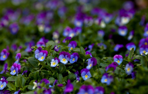Picture macro, flowers, Pansy, lilac, viola