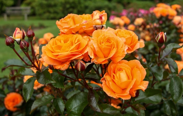 Picture orange, Bush, roses, buds