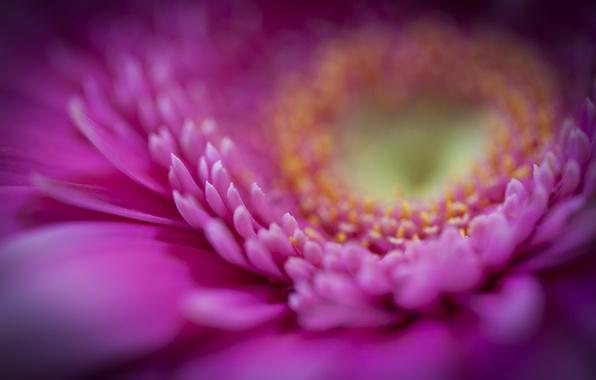Picture flower, macro, pink, petals, gerbera