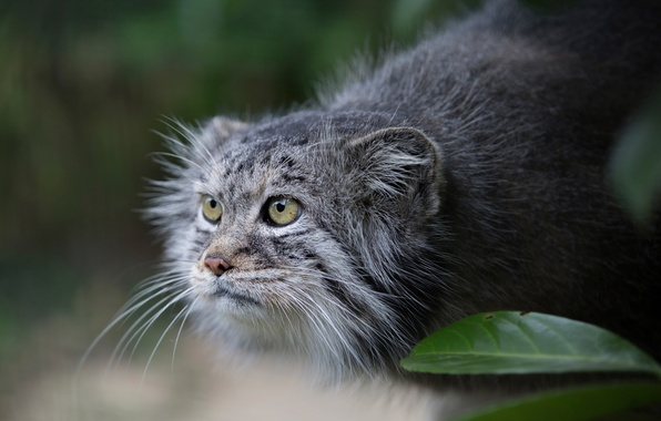 Picture look, manul, Pallas Cat