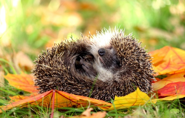 Picture autumn, nature, hedgehog, hedgehog