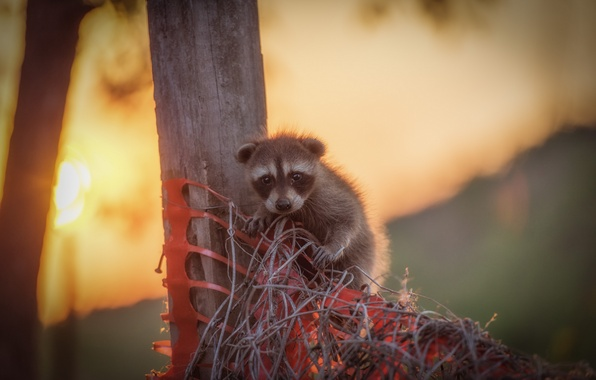 Picture baby, raccoon, cub