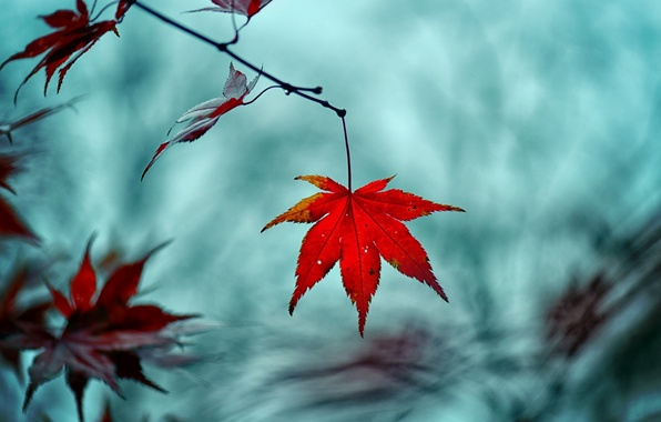 Picture macro, red, background, tree, widescreen, Wallpaper, blur, branch, leaf, wallpaper, leaf, widescreen, background, leaves, macro, …