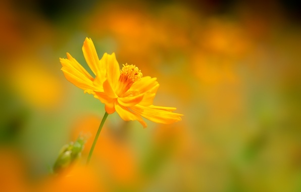 Picture flower, background, blur, yellow, kosmeya