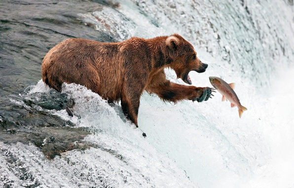 Picture river, fishing, stream, fish, bear